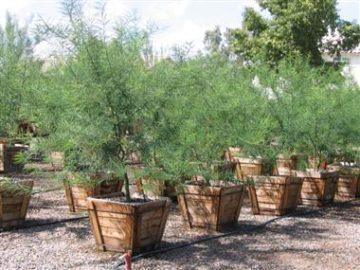24 inch box trees _380