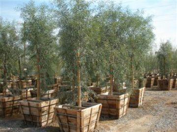 "24"" Box Trees"