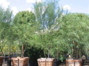 "36"" Box Trees"