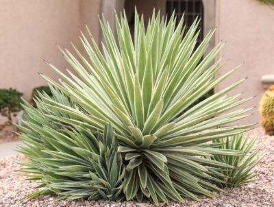 Agave angustifolia