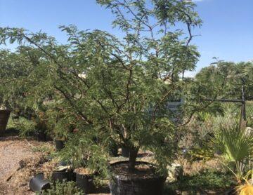 Seedless Mesquite Hybrid