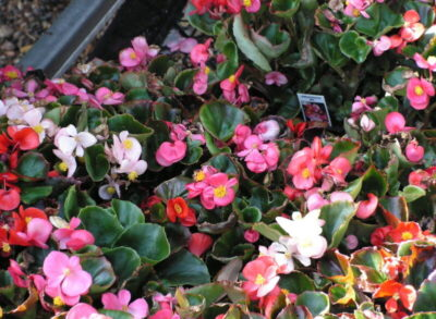 Perennial Bedding Plant