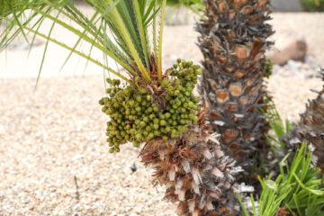 Mediterranean Fan Palm Fruit