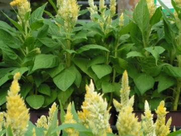 Yellow Celosia