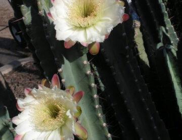 Peruvian Tree Cactus
