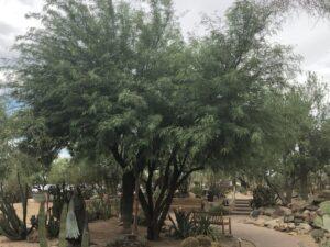 Prosopsis chilensis
