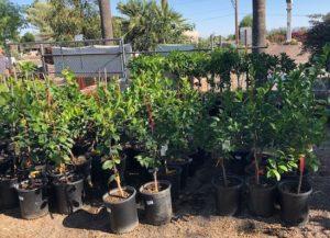 Citrus Tree Area