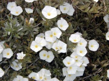 Morning Glory Bush Blooms
