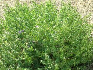 Ruellia peninsularius