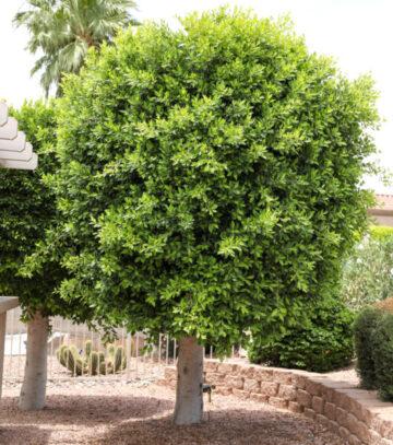 Indian Laurel Fig