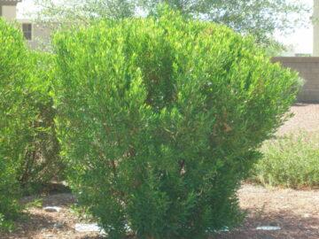 Green Hopseed Bush