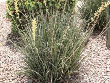 Yellow Yucca