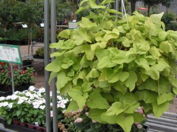Sweet Potato Vine Hanging Basket