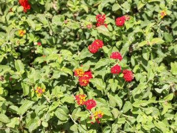 Red Lantana