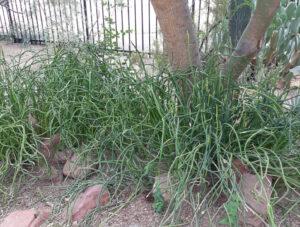 Pedilanthus macrocarpus