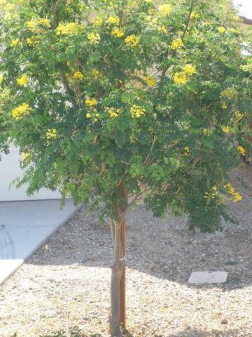 Mexican Bird of Paradise Tree