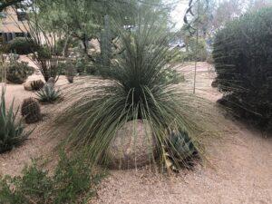Dasylirion longisimum