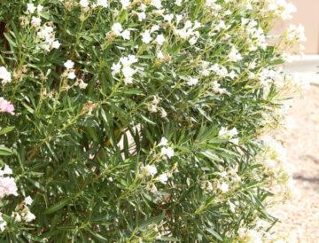 Dwarf White Oleander