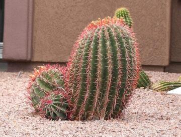 Fish Hook Barrel Cactus