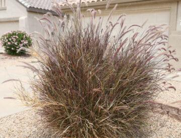 Ruby Fountain Grass