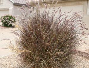 Pennisetum cupreum