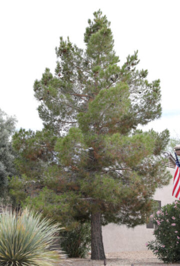 Mondell Pine