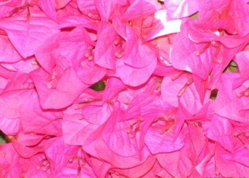 Pink Bougainvillea Bloom