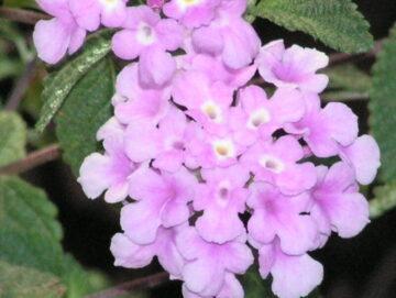 Purple Lantana Bloom