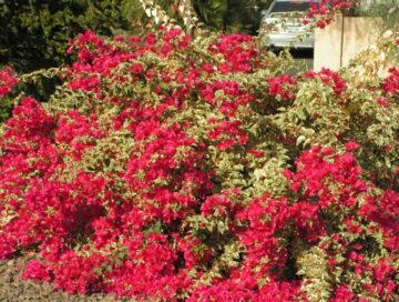 Raspberry Ice Variegated Bougainvillea