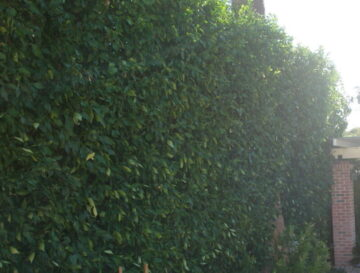 Sour Orange Hedge