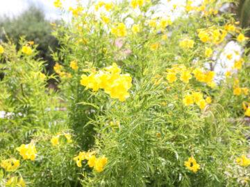 Sonoran Yellow Bells