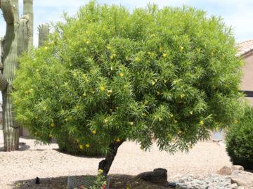 Yellow Oleander Tree