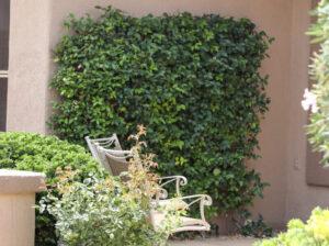Trachelospermum jasminiodes