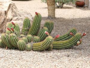 Trichocereus candicans