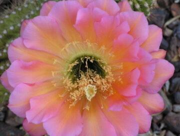 Pink Trichocereus