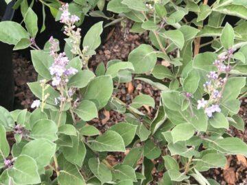 Arabian Lilac