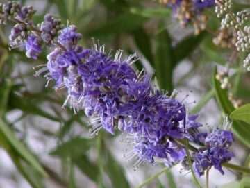 Chaste Tree Bloom