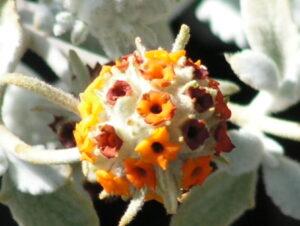 Buddleja marrubifolia