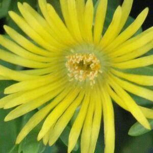 Malephora lutea