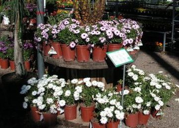 African Daisy Display