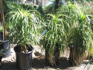 Ponytail Palms