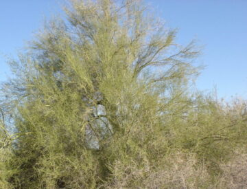 Foothill Palo Verde