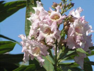Chitalpa Bloom