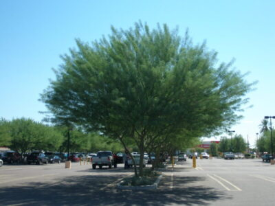 Cercidium palo verde hybrid