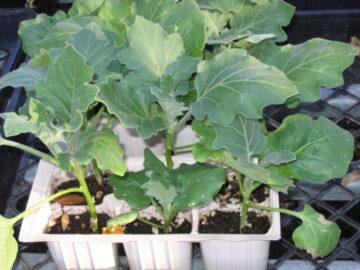 Eggplant 6 Packs