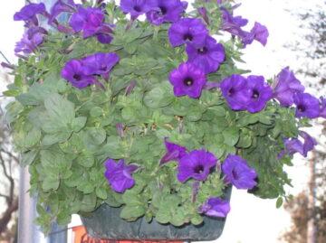 Hanging Basket - Blue Wave Petunia