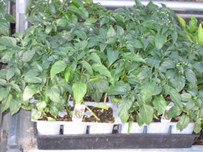 Jalepeno Peppers