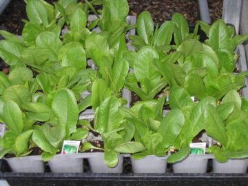 Lettuce 6 Packs